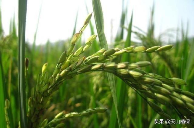 水稻想要高产,科学施肥是关键,农民要掌握哪些施肥技术呢?