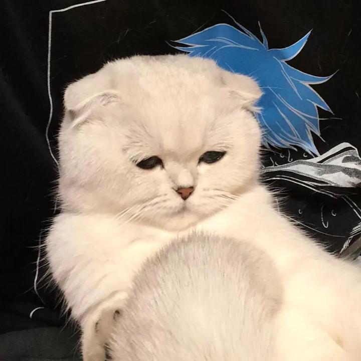 万年中单汤圆猫