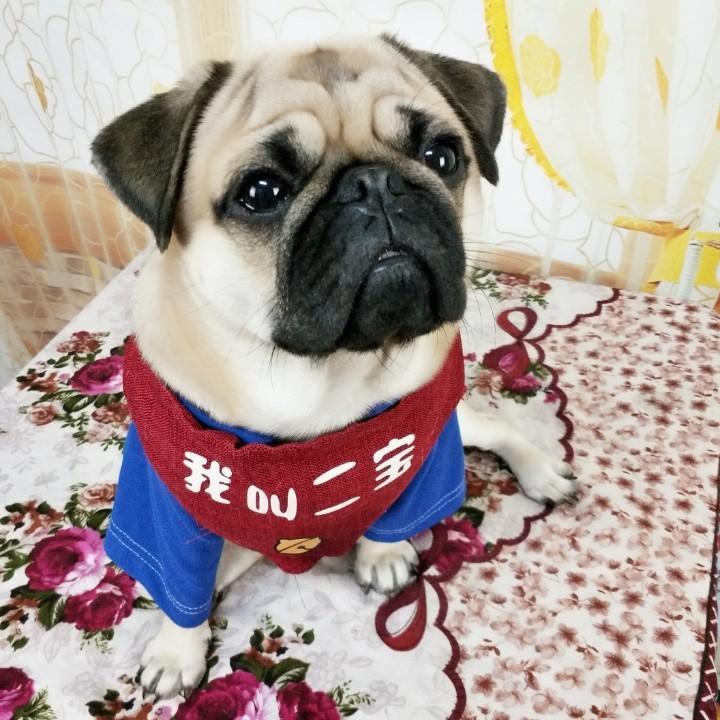 小曲―二宝聪明八哥犬